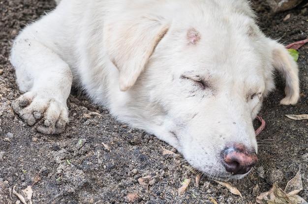 Schmutziger weißer hund des nahaufnahmeschlafes mit läsion am kopf