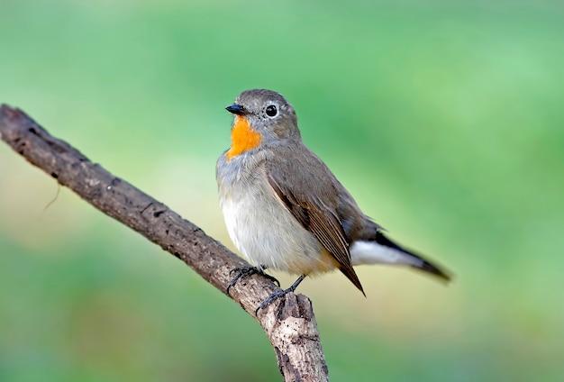 Schnäpper taiga flycatcher ficedula parva schöne männliche vögel von thailand