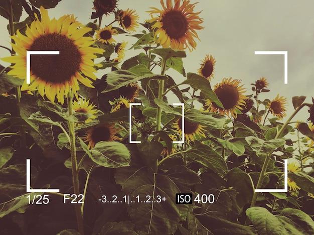 Schnappschuss-banner mit kameraaufnahme sonnenblume sun