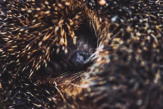 Schnauze des kleinen niedlichen igels. schüchterner waldbewohner von brauner farbe. nadeln der igel-nahaufnahme.