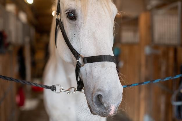 Schnauze einer jungen weißen reinrassigen stute oder eines rennpferdes mit zaumzeug vor der kamera, die im stall steht