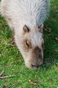 Schnauze eines capybara, eines riesigen meerschweinchen-nagetiers