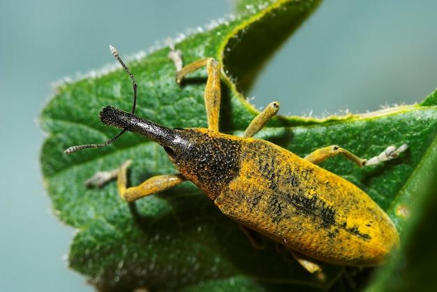Schnauzenkäfer (lixus angustatus)