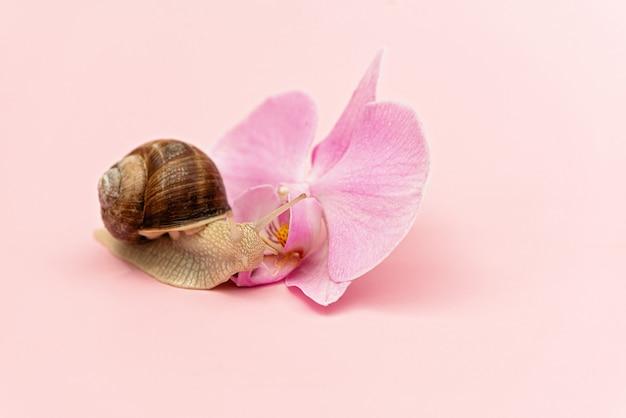 Schnecke und orchidee blühen auf rosa hintergrund. kosmetik mit schneckenmucin, hautfeuchtigkeit, schönheit, spa-konzept. weicher selektiver fokus.
