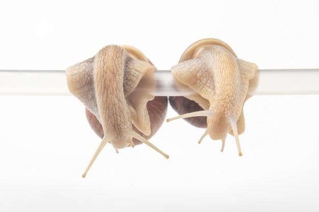 Schnecken hängen an einem plastikrohr. romantik im tierreich. weichtiere und wirbellose.