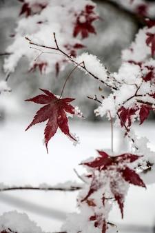 Schnee bedeckte die blätter des ahornbaums