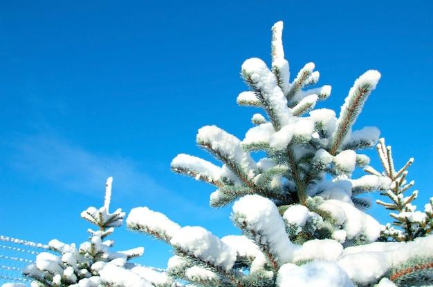 Schnee bedeckte kiefer