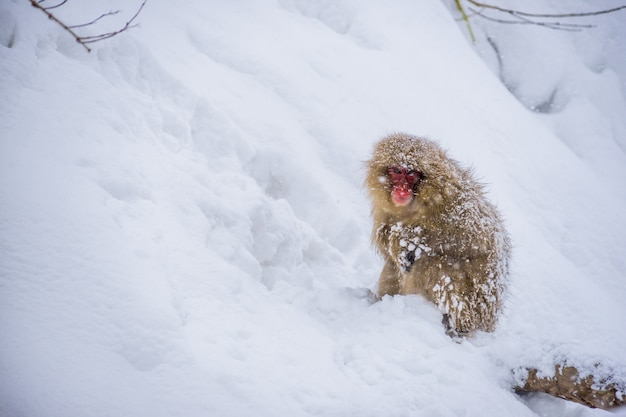 Schneeaffe (japanische macaques) sitzend im schnee, während schnee in den winter fällt