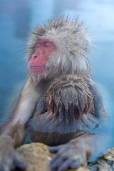 Schneeaffe macaque onsen