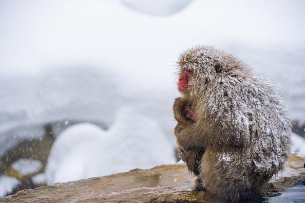 Schneeaffen (japanische macaques) schaudern und umarmen sich mit babyaffen und der familie w