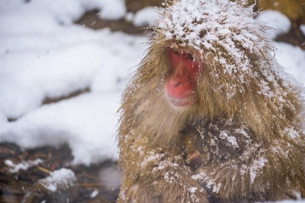 Schneeaffen (japanische macaques) schaudern und umarmen sich mit babyaffen und familie