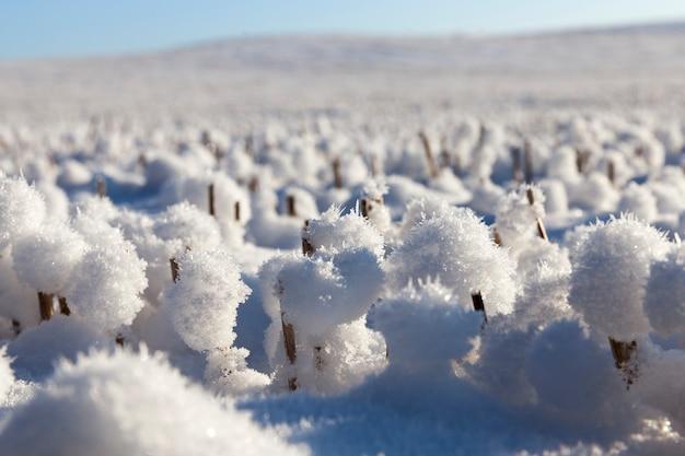 Schneebälle auf den scharfen stoppeln des weizens in der wintersaison, sonniges wetter, schneekristalle sind sichtbar, nahaufnahme