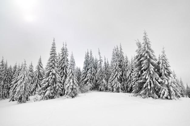 Schneebedeckte hohe fichten gegen einen hellen himmel. winterlandschaft, kiefernwald in den bergen