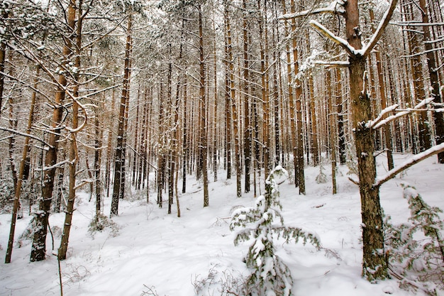 Schneebedeckte junge kiefern im winter, weißer schnee, der auf dem baum liegt, kalte temperatur
