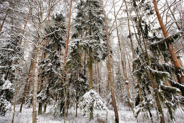 Schneebedeckte nadelbäume