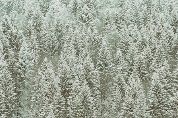 Schneebedeckte tannen. dicker nadelwald. winterlandschaft