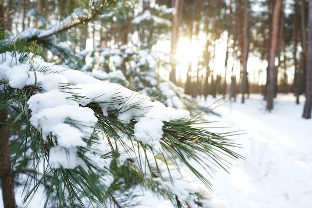 Schneebedeckte tannenzweige, winterwald. nahansicht.
