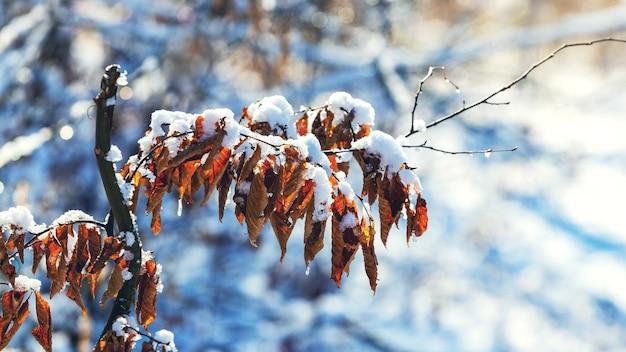 Schneebedeckter ast mit trockenen blättern im wald an einem sonnigen tag