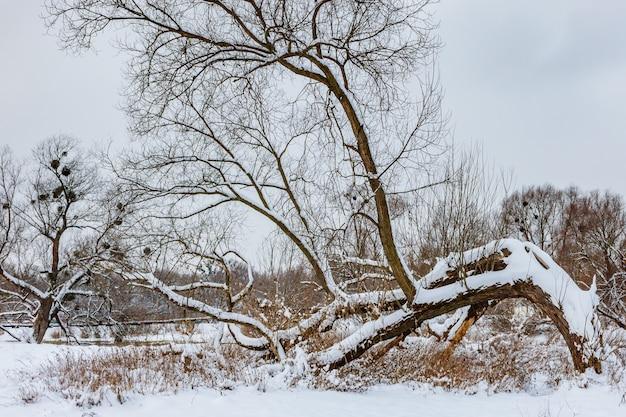 Schneebedeckter gebogener baumstamm über dem boden am waldrand am wintertag gegen bewölkten himmel. winterwaldlandschaft