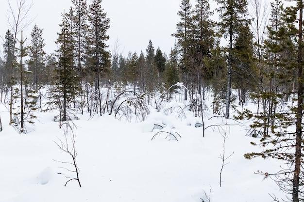 Schneebedeckter wald in nord-schweden