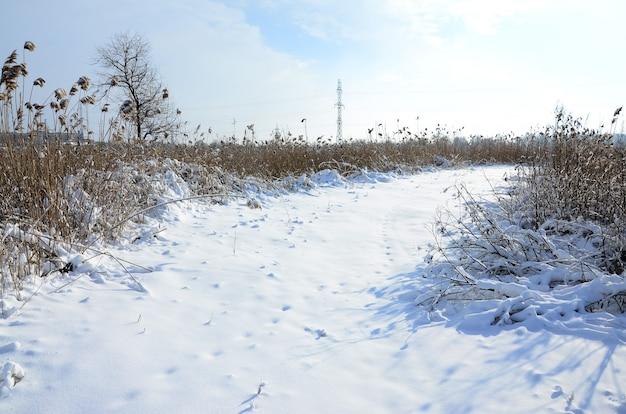 Schneebedeckter wilder sumpf mit vielen gelben schilfen