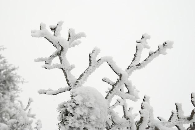 Schneebedeckter zweig vom winterbaum