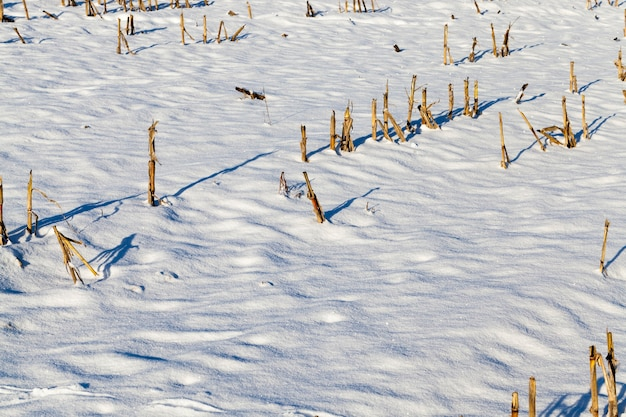 Schneebedecktes land auf dem feld, schneefälle und winterfrost, stoppeln aus dem geernteten mais ragen durch den schnee