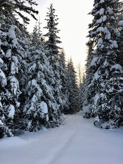 Schneefall im bergwald mit schneebedeckten fichten, tannen und birken. schneeverwehungen am hang des hügels. winterlandschaft - verschneiter hintergrund mit platz für text. winterreise- und ruhekonzept