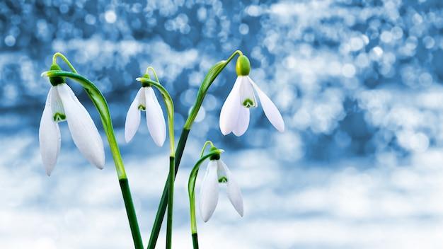 Schneeglöckchen auf unscharfem blauem hintergrund mit bokeh, während schnee schmilzt