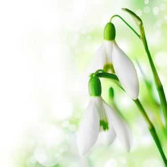 Schneeglöckchen blüht nahaufnahme auf weiß