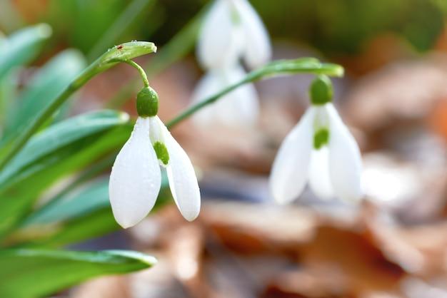 Schneeglöckchen erste frühlingsblumen im wald