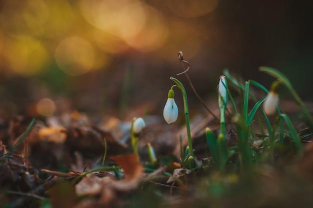 Schneeglöckchen in einem wald im frühjahr
