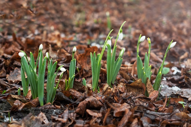 Schneeglöckchen oder gewöhnliche schneeglöckchen (galanthus nivalis) wachsen zwischen trockenem laub.