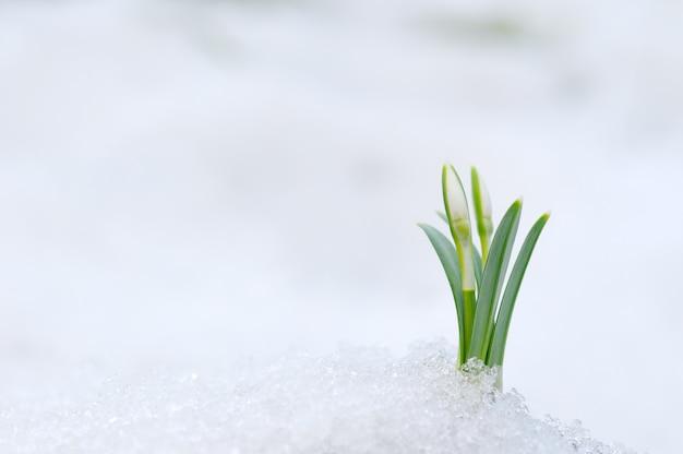 Schneeglöckchenblume, die aus echtem schnee herauskommt