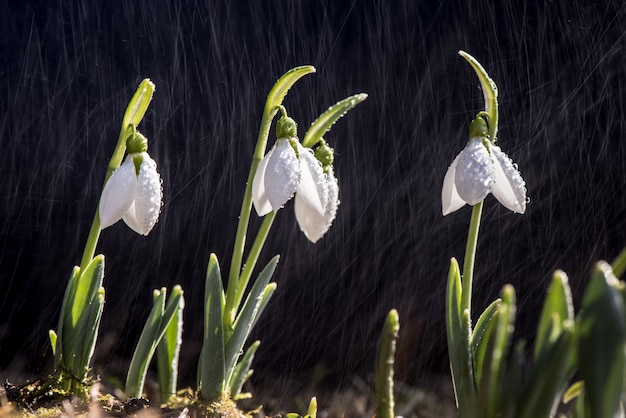 Schneeglöckchenfrühling im regen und in den glänzenden lichtern.