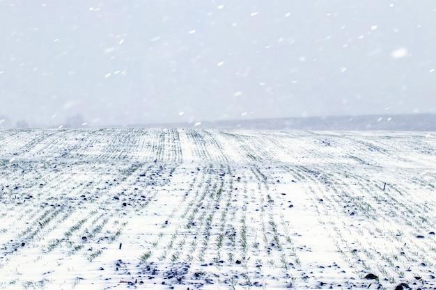 Schneesturm auf dem feld. feld mit winterweizen unter dem schnee