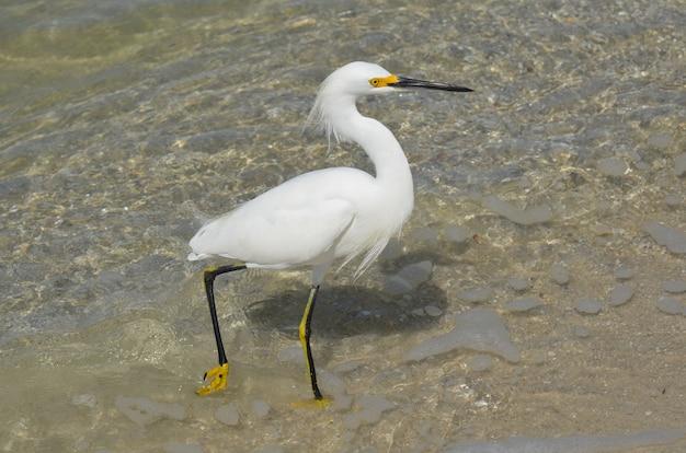 Schneeweißer reihervogel, der in seichtem wasser vor dem strand spazieren geht.