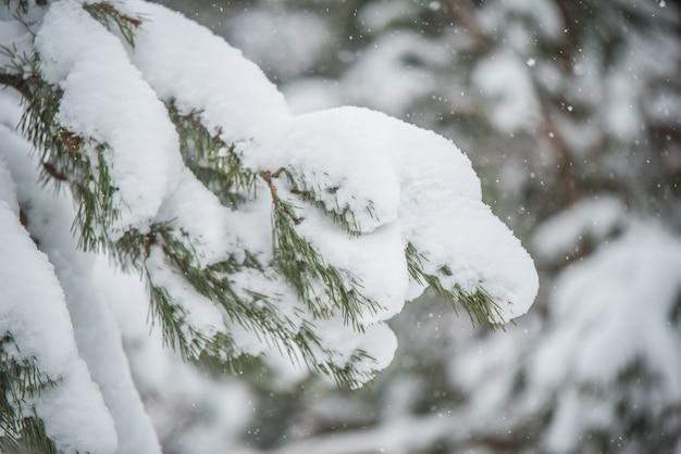 Schneezweige eines tannen-weihnachtsbaums im schnee im winterwald