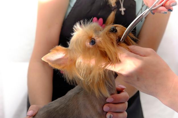 Schneiden des kopfes eines yorkshire-terriers mit einer schere mit kopffixierung.