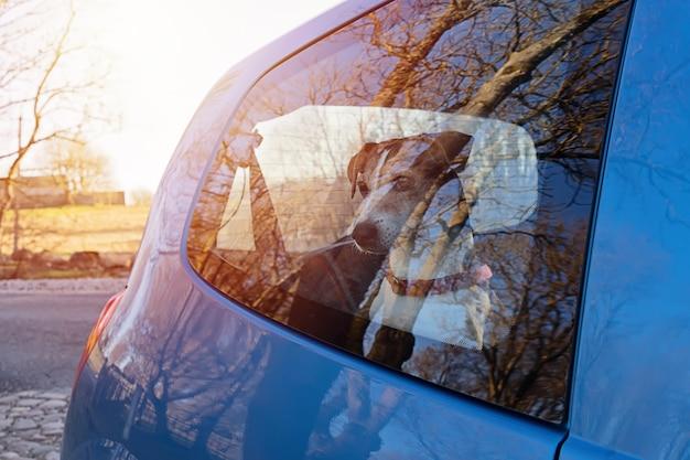 Schneiden sie den hundewelpen, der in verschlossenem auto allein gelassen wird