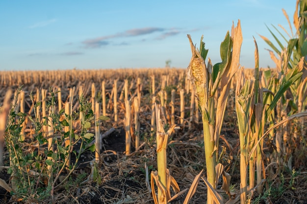 Schneiden sie maisstoppeln und spreu in einem herbstfeld während der ernte der maisernte bei sonnenuntergang