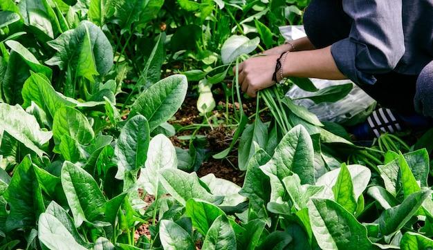 Schneiden von spinacia oleracea in die handlung