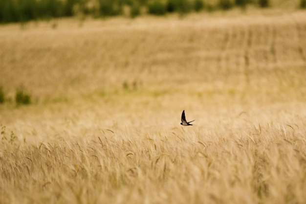 Schnelles fliegen des vogels über weizen