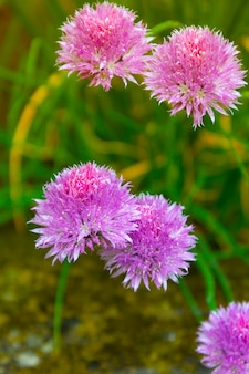 Schnittlauch allium lila blühende zwiebeln blüht sommerkraut schöne gartenpflanzen, abstrakter hintergrund