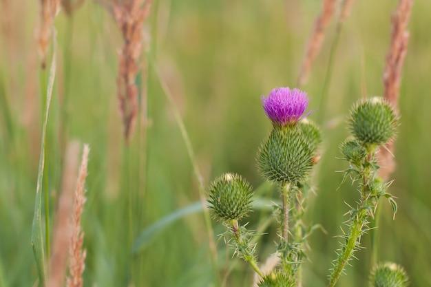 Schöllkrautpflanze, die auf dem feld wild wächst. ein dorn in der natur an einem sommertag