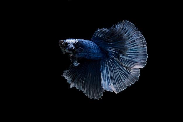 Schön bunt von den siamesischen betta fischen