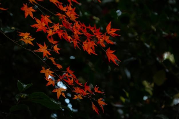 Schön ein buntes rotes, gelbes ahornblatt gegen den dunklen schattenhintergrund
