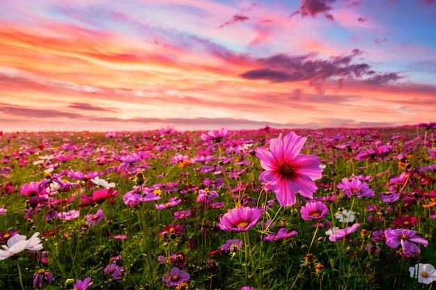 Schön und erstaunlich der kosmosblumenfeldlandschaft im sonnenuntergang. natur tapete hintergrund.
