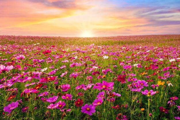 Schön und erstaunlich der kosmosblumenfeldlandschaft im sonnenuntergang