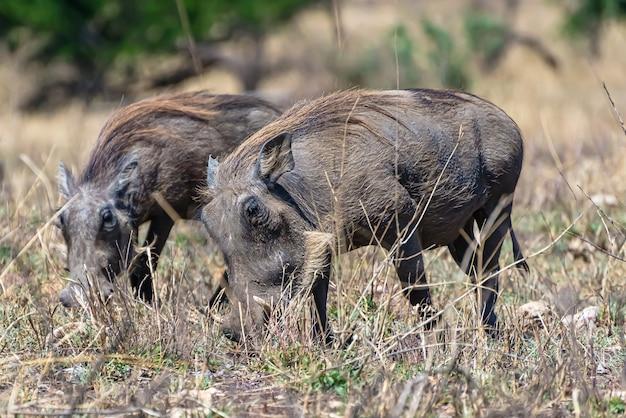 Schön von den afrikanischen gemeinen warzenschweinen, die auf einer grasebene entdeckt werden